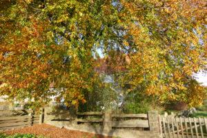 Blutbuche in Herbst