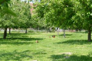Hühner auf der Obstwiese